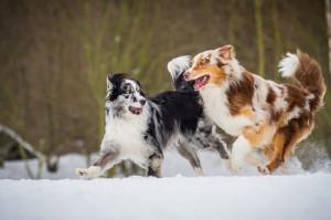 h252tehunde und treibhunde hunde