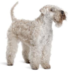 Irish-Soft-Coated-Wheaten-Terrier
