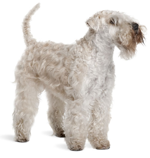 Irish Soft Coated Wheaten Terrier Hunde