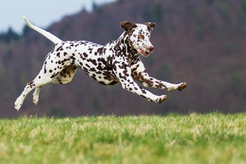 Dalmatiner-springt