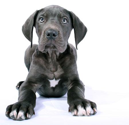 deutsche-dogge-welpe