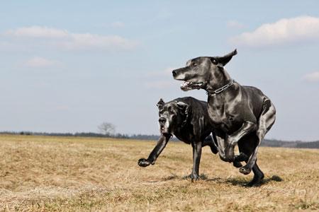 deutsche-doggen