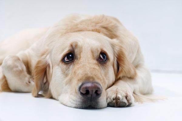 hund-traurig