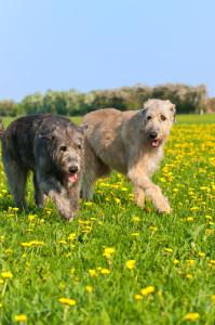 irischer-wolfshund