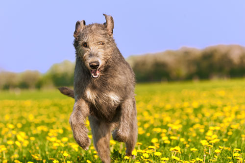 irish-wolfshound
