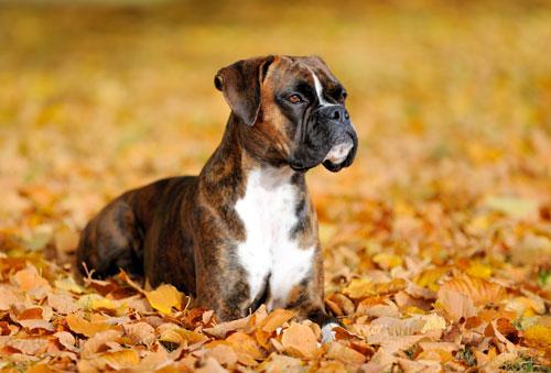 Boxer Hunde