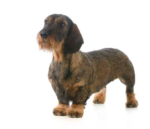Hound Dog Breeds Uk