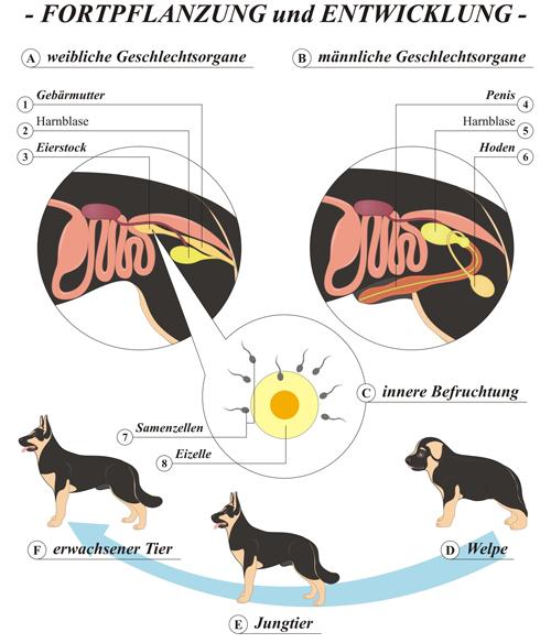 Hund-Fortpflanzung