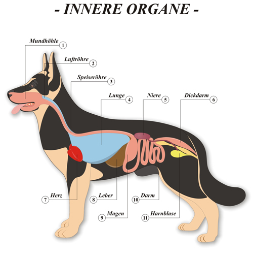 Hund-Organe