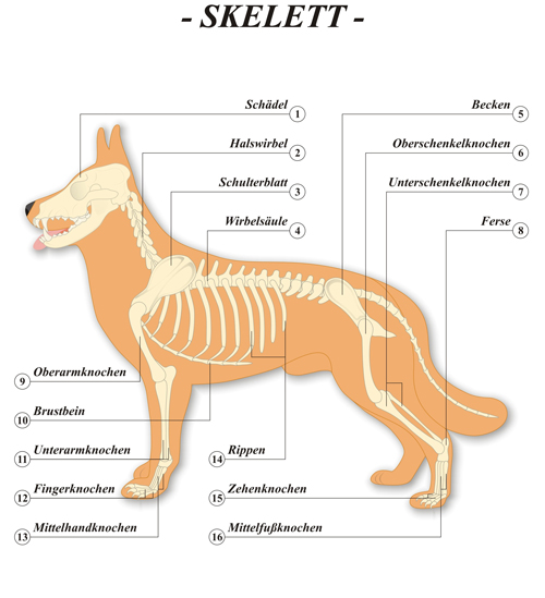 Hund-Skelett