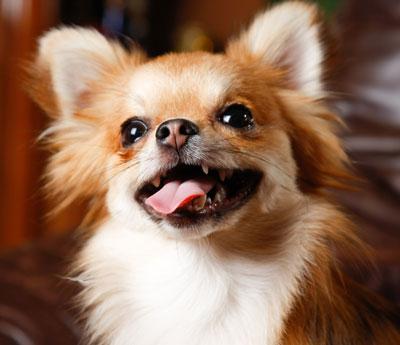 Chihuahua-braun