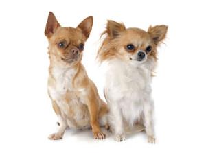 Chihuahua-langhaar-kurzhaar