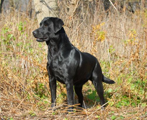 Labrador-Retriever-schwarz