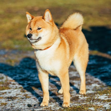 Dog Breed Info Shiba Inu