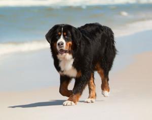 berner-sennenhund-strand