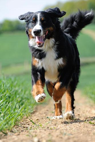 bernersennenhund-laufend