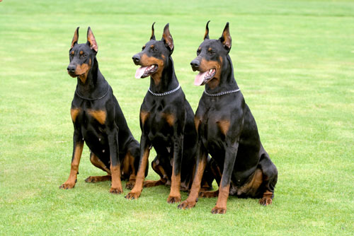 Best Family Protection Dog Breeds