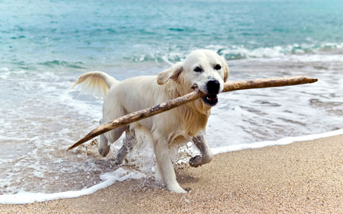 golden-retriever-strand