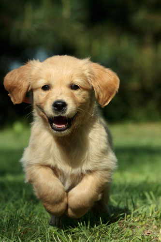 golden-retriever-welpe