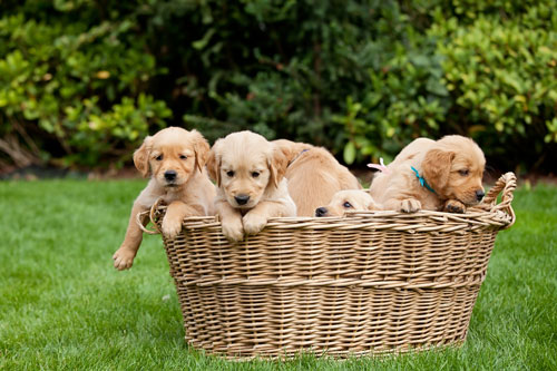 golden-retriever-welpen