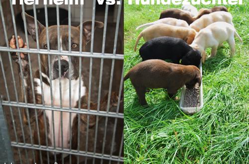 Ein Hund aus dem Tierheim oder vom Züchter? Pro und Contra ... American Staffordshire Terrier 2014