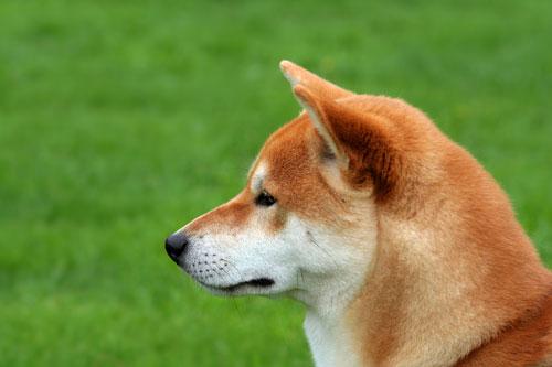 Shiba Inu Eigenschaften