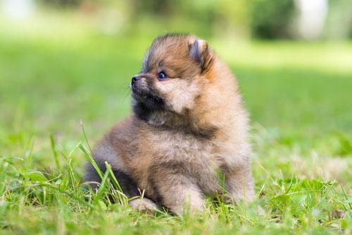 zwergspitz-puppy