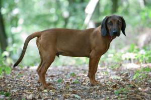 Bayerischer-Gebirgsschweißhund