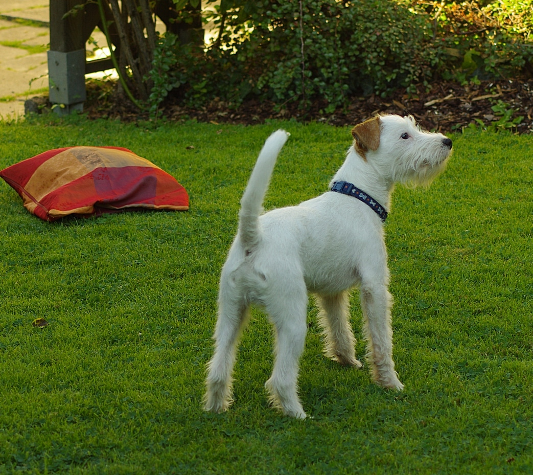 Parson Russell Terrier ⋆ Hunde