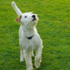 Parson Russell Terrier (2)