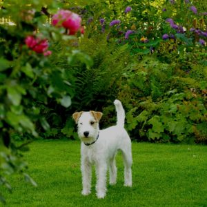 Parson Russell Terrier (3)