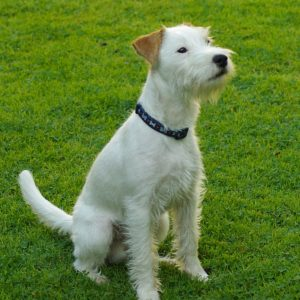 Parson Russell Terrier (4)