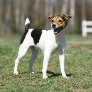 parson-russel-terrier