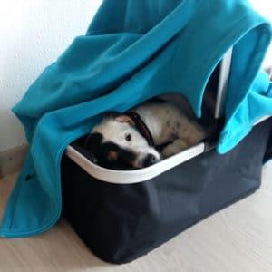parson-russell-terrier-bar2