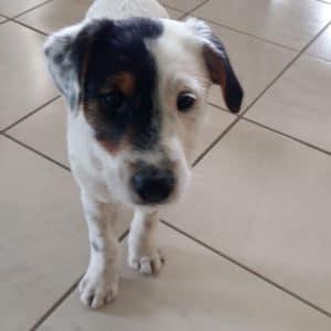 parson-russell-terrier-bar3