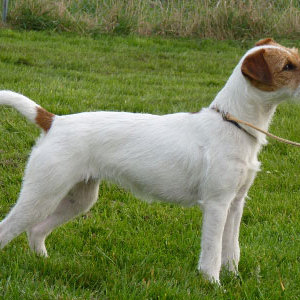 Parson Russell Terrier ⋆ Hunde