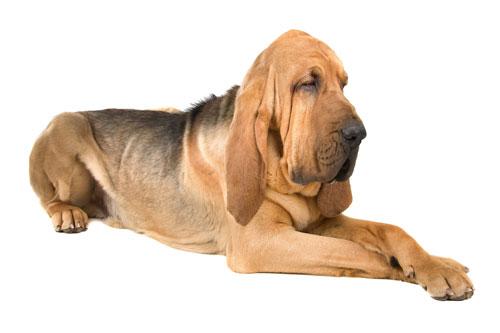 Bloodhound-liegend