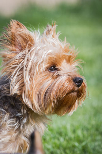 Yorkshire-Terrier-gesicht