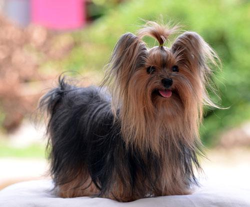 Yorkshire-Terrier--langhaar