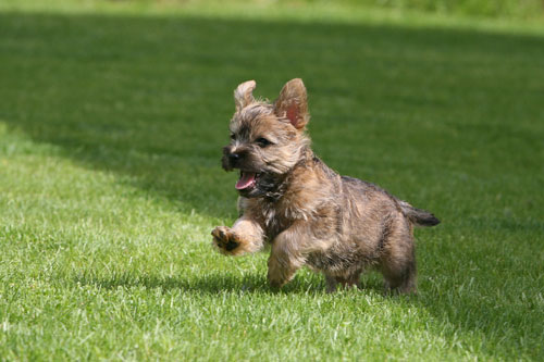 Cairn-Terrier-Welpe