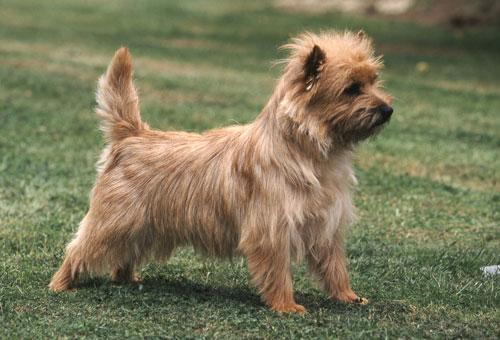 Cairn-Terrier-braun
