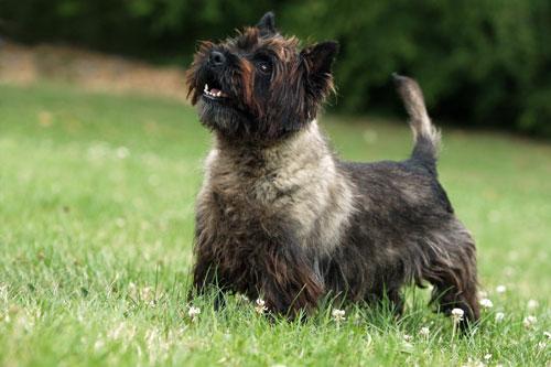 Cairn-Terrier-dunkel