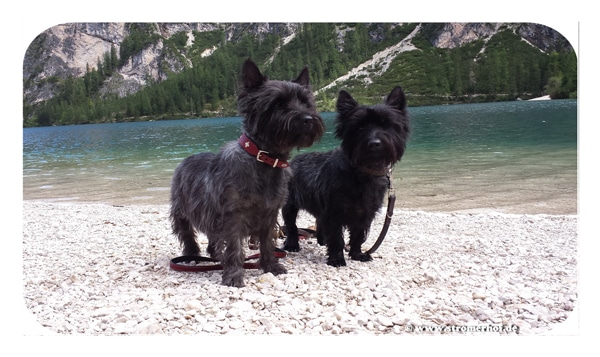 Cairn-Terrier-vom-Stromerho