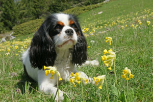 Cavalier--Charles-Spaniel