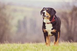 Entlebucher-Sennenhund