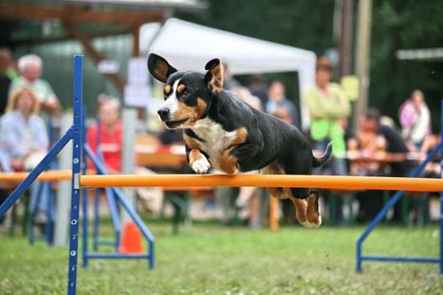 Entlebucher-Sennenhund-spri