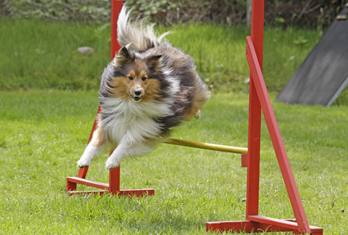Crufts Agility Small Dogs