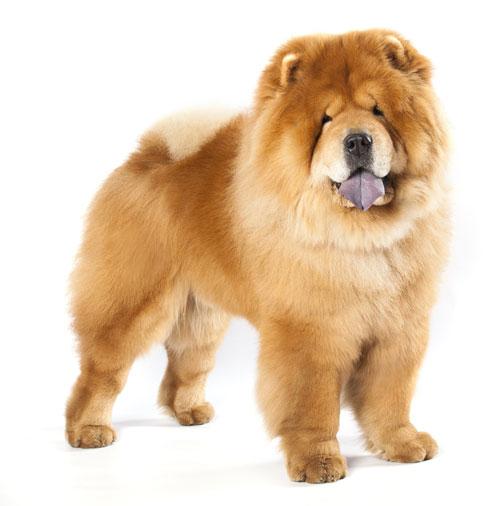 Chow Chow Hunde
