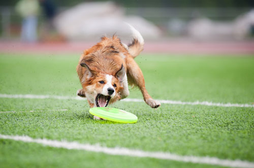 frisbee-hund