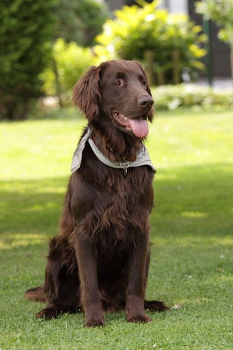 Flat-Coated-Retriever-braun
